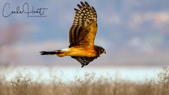 Northern Harrier, Swan Lake Nature Reserve, Vernon, BC