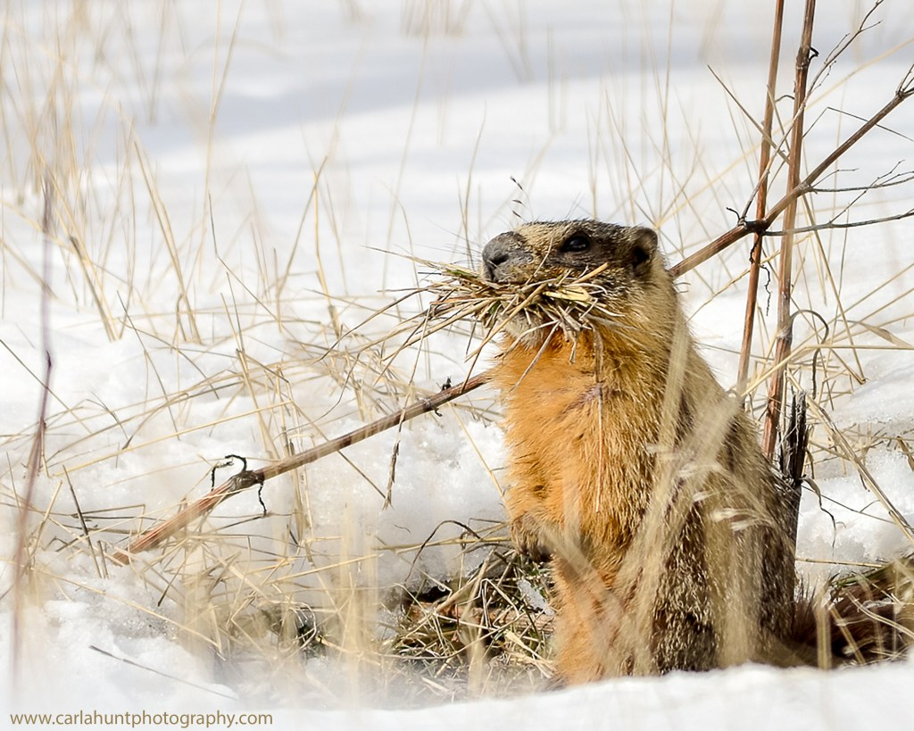 Marmot March 5, 2019