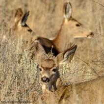 Mule Deer, Vernon, BC