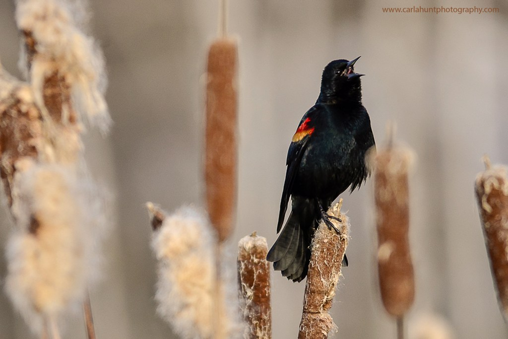The first sign of Spring - Red-winged Blackbird, Spallumcheen, BC
