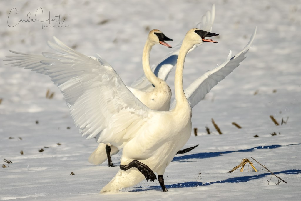 Trumpeter Swans, coming in for a landing, Vernon, BC
