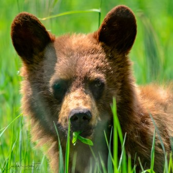 Cutest bear cub I saw yesterday, North Okanagan, BC