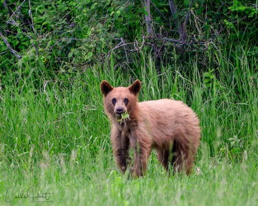 Another bear I came across the other day, North Okanagan, BC