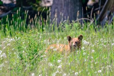 A wee bear cub, North Okanagan, BC