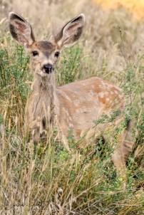 Mule Deer Fawn, Coldstream, BC