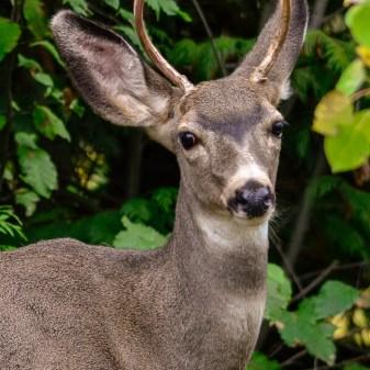 Mule Deer Buck, Lavington, BC