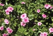 catharanthus_roseus_211