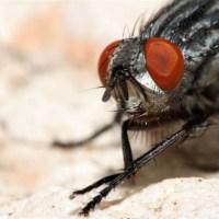 A la découverte (inusitée) de la mouche sarcophage