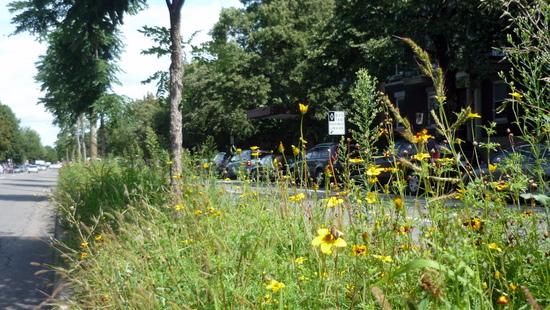 Le terre-plein fleuri au milieu du boulevard Saint-Joseph. Cliquez sur l'image pour lire l'article de Roger Latour à son propos