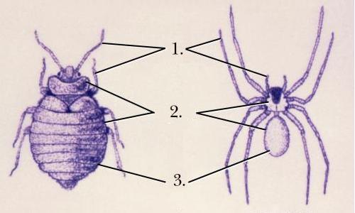 comparaison entre la punaise et l'araignée
