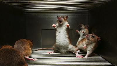 Une expérience chez les rats démontre que la hiérarchie n'est pas toujours celle qui paraît: celui qui se fait servir peut être dépendant de celui qui le sert