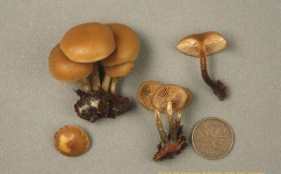 Présente un chapeau de petite taille (2 à 6 cm), lisse, des lames brunes à maturité et un pied annelé.