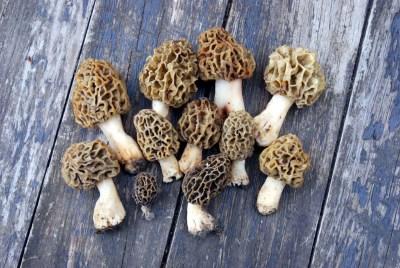 Toutes les espèces de Morilles sont d'excellents comestibles, à condition toutefois d'être suffisamment cuites, elles sont en effet toxiques à l'état cru, contenant de l'hémolysine