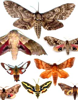 collection de Sphingidae