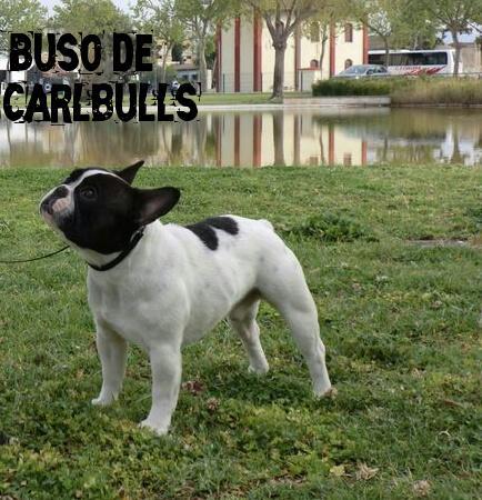 BUSO DE CARLBULLS CAC Y CACIB