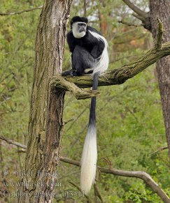 Black&white Colobus monkey