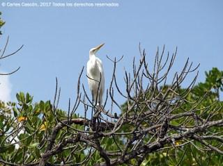 Little Egret, Ramisi river