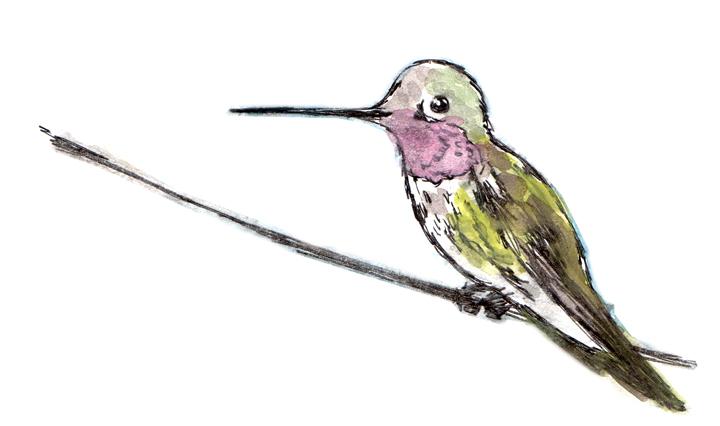 Birdwatching List: Light Hummingbird