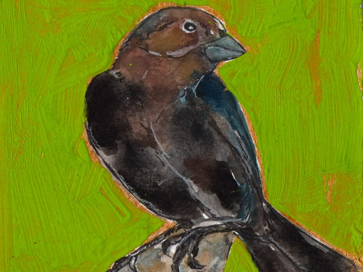 Bird Flashcards: Brown-headed Cowbird