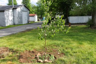 Moving Fruit trees