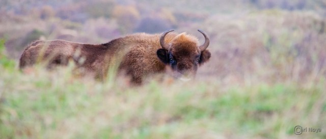 November: Wisent @ Kennemerduinen