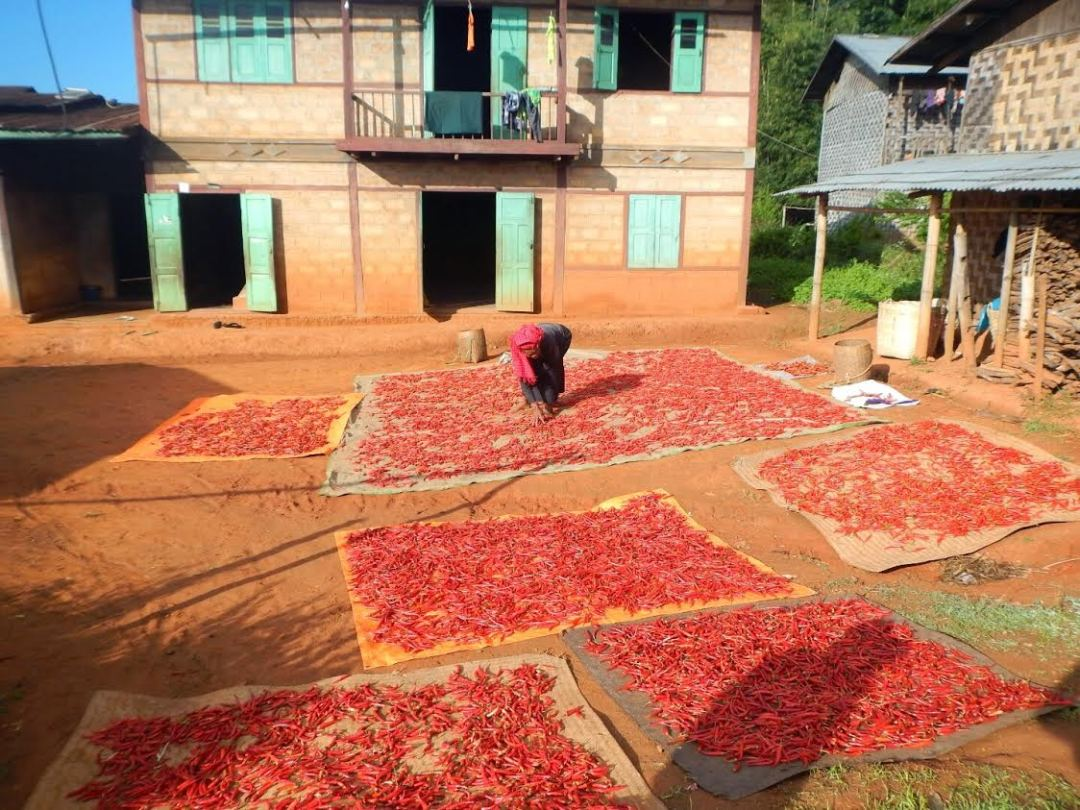 Plantación de chili birmana