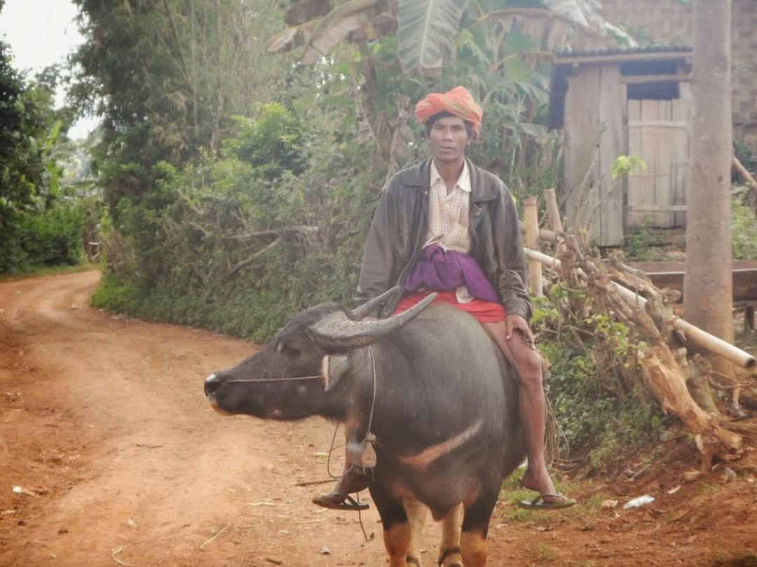 Buffalo birmano