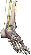 tobillo nervios esqueleto