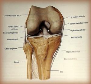 Representación de la rodilla, en colección Prometheus, con permiso de la editorial panamericana