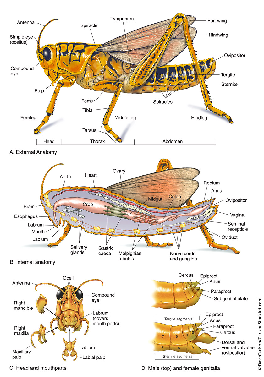 Grasshopper Labeled : grasshopper, labeled, External, Grasshopper, Anatomy, Drawing, Diagram