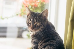 46916895 - young tabby cat sitting in front of window looking towards camera.