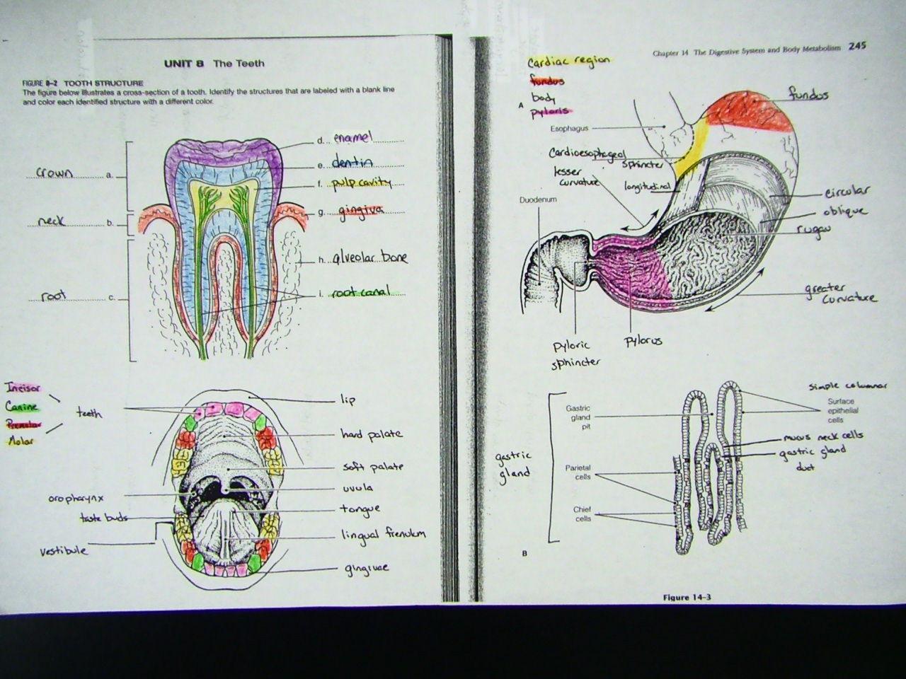 Muscle Digestive