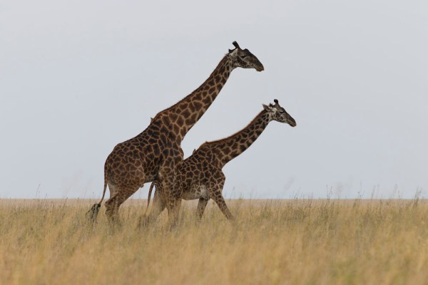 Graceful giraffes