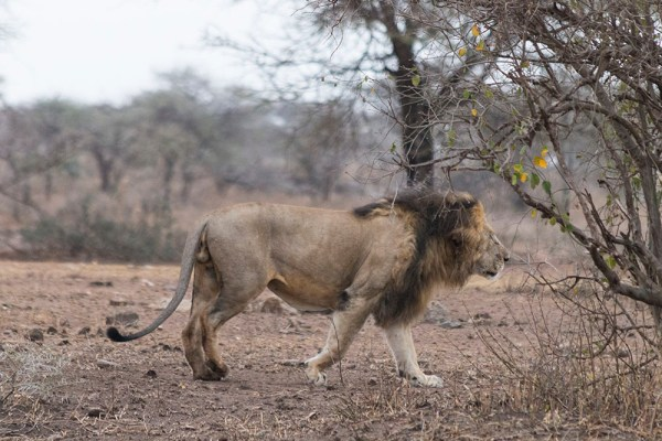 And then another male lion - woohoo!!