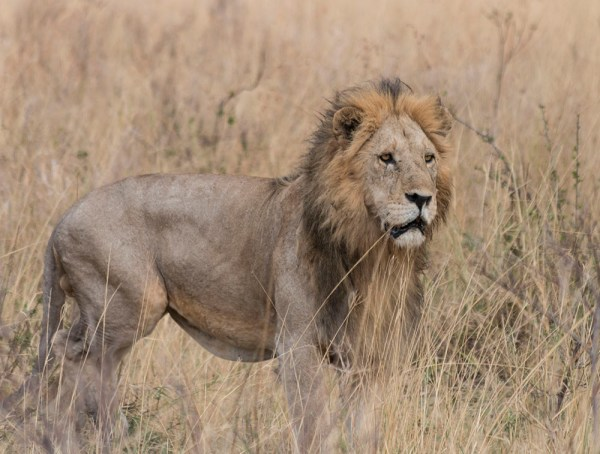 The very definition of majestic, and yes this a different male lion