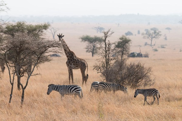A giraffe with zebras - seriously amazing