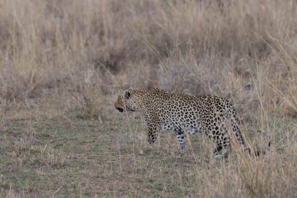 Wow!! A leopard on the ground