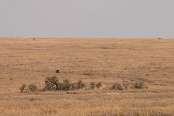Lion approaching