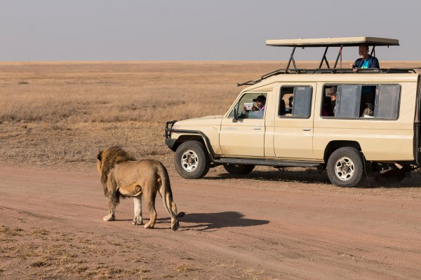 The male lion got closer and closer to the jeeps