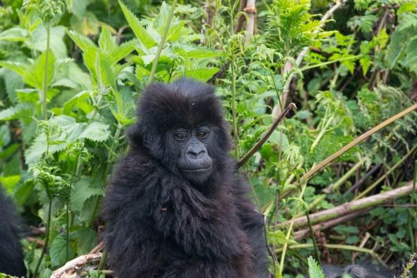 Fluffy Bubba Gorilla