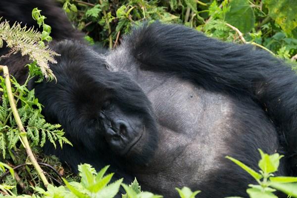 Sleeping Giant of a Silverback Gorilla