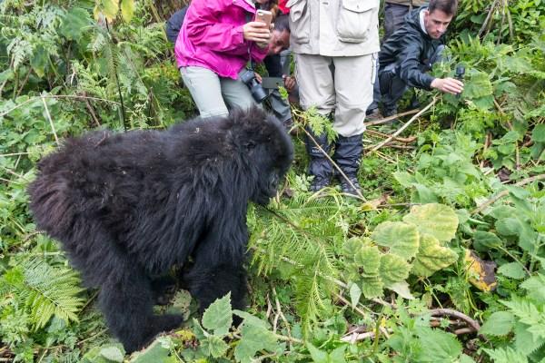 Gorilla weeing