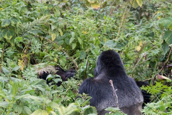 The massive back of a silverback gorilla