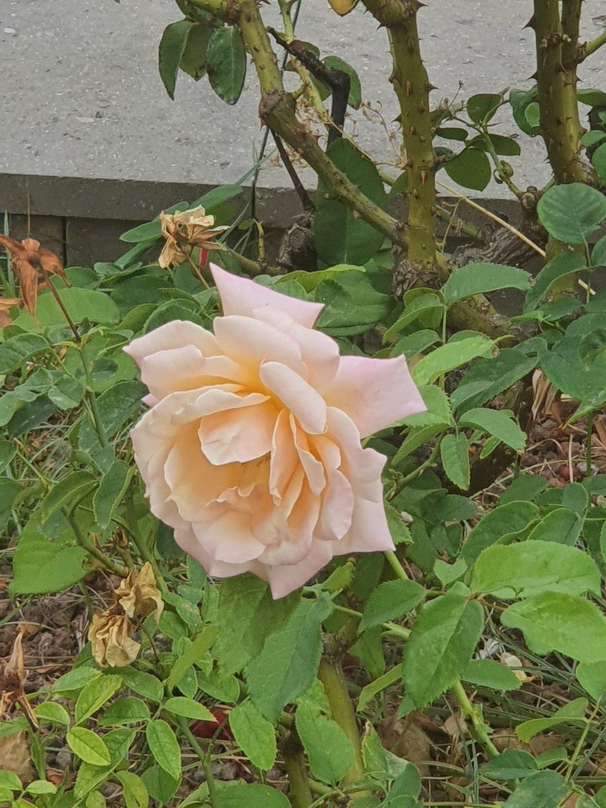 Esta rosa dedicada para todas esas guerreras.