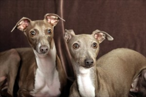 italian-greyhound-pair