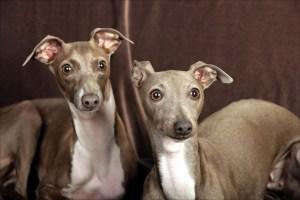 italian-greyhound-pair