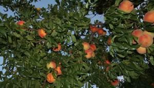 peach-trees