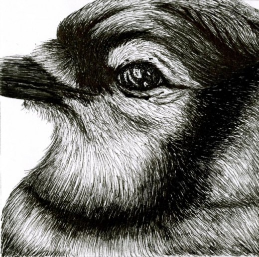 Freehand Drawing | Blue Jay Bird Close Up Details