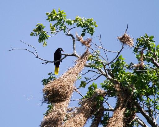 Oropéndulo y sus nidos