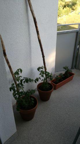 Meine Tomatenpflanzen wachsen